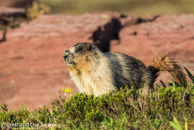 Hoary Marmot and the Glacier Lily