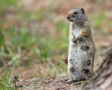Nursing Uinta Ground Squirrel