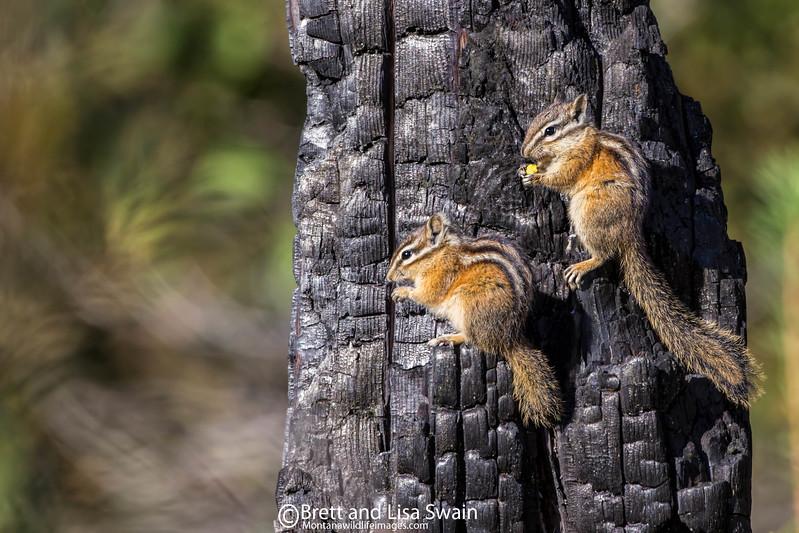 Chipmunk Duo