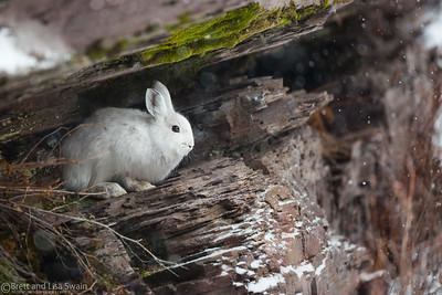 Snowshoe Hare on the Ledge