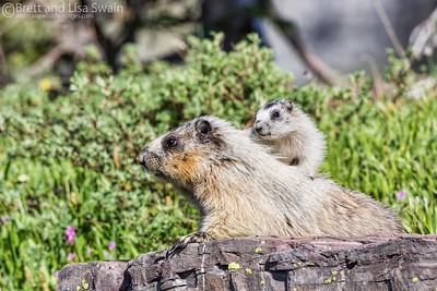 Adult and Baby Hoary Marmots