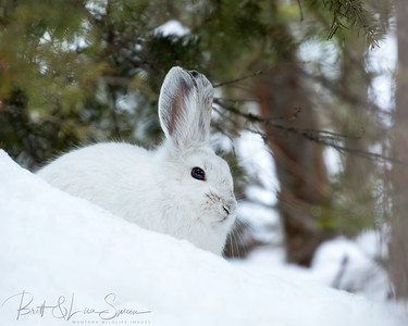 Snowshoe Hare-Green Background