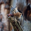Red Squirrel With Pinecob