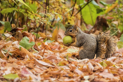 Squirrel With Black Walnut in Fall Colors