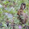 Snowshoe Hare (summer)