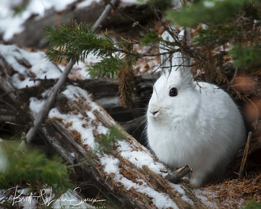 """Tucked Away""-snowshoe hare"