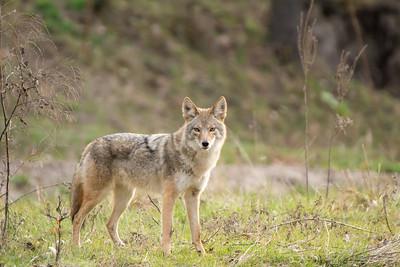 Alert Coyote.
