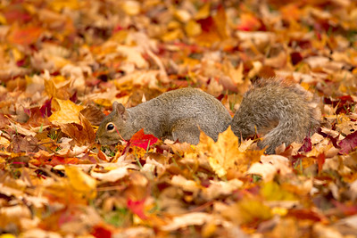 Grey Squirrel in Maple Leaves
