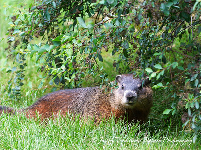 Groundhog near burrow