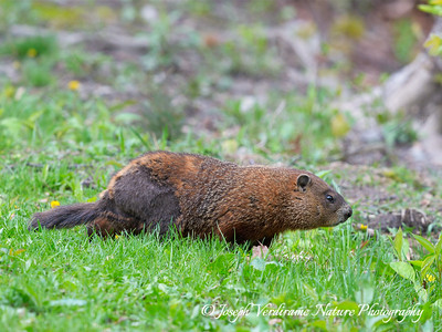 Groundhog foraging on spring grasses (2)