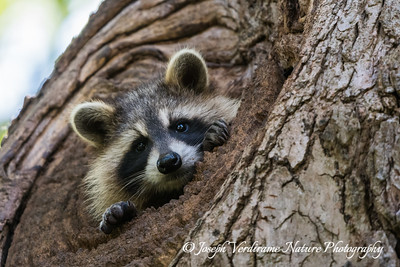 Raccoon kit (2)