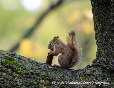 Red Squirrel at work