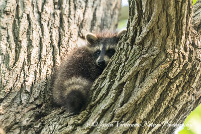 Raccoon kit (4)