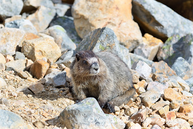 Hoary Marmot just blending in