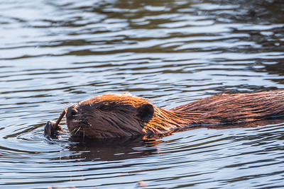 Beaver enjoying lunch
