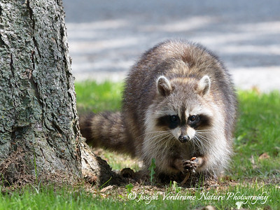 Raccoon eating an earthworm (2)