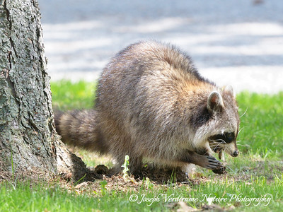 Raccoon eating an earthworm (3)
