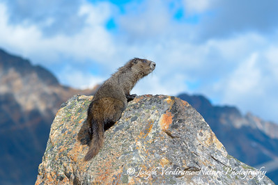 Hoary Marmot surveys his majestic kingdom