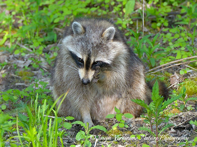 Raccoon deep in thought