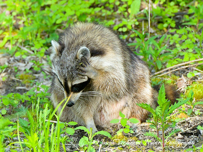 Raccoon in forgetful moment