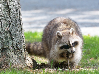 Raccoon eating an earthworm (1)