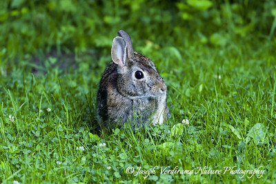 Curious young cottontail