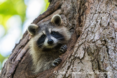 Raccoon kit (3)