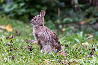 Cottontail rabbit on alert