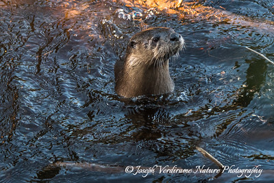 River Otter:  now I see you!