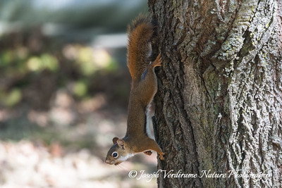 Red Squirrel on alert