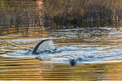 River Otter dive