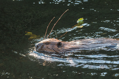 Industrious beaver