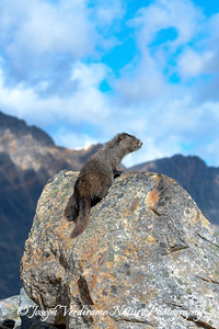 Hoary Marmot surveys his kingdom