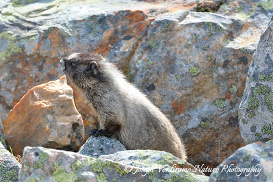 Hoary Marmot on alert