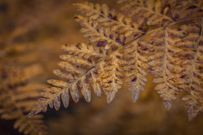 Detail, Bracken Fern