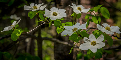Dogwood Blossoms, Yosemite High Country
