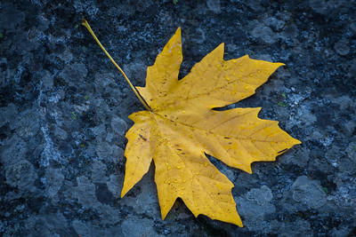 Maple Leaf on Granite