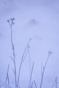 Hoar Frost on the Meadow