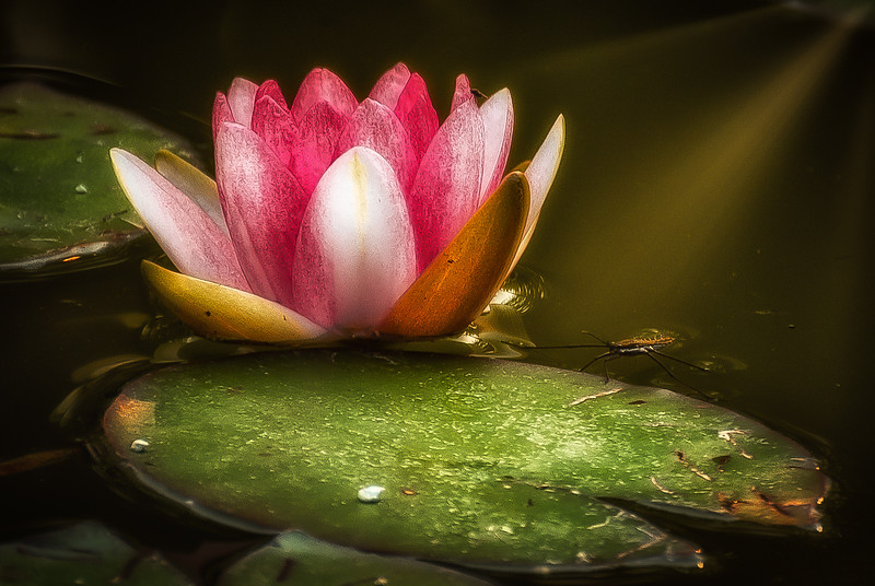 Strider and Water Lily