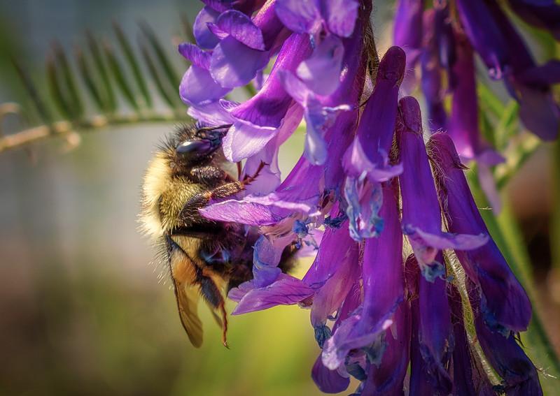 Bee in Summer