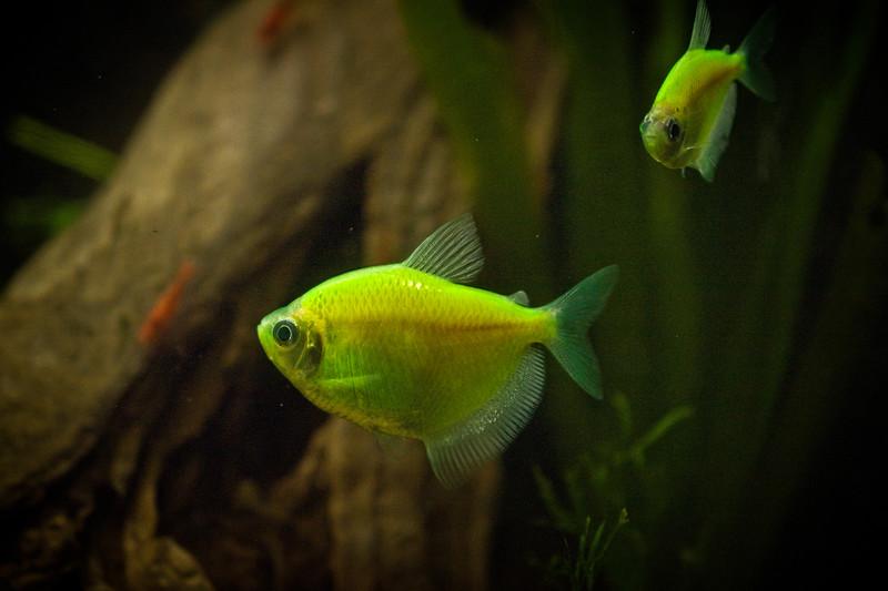 Gorgeous Glo Fish