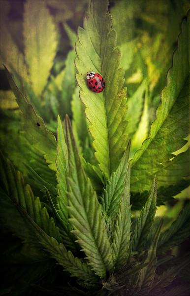 Ladybug on Leaves