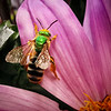 Bicolored Agapostemon Sweat Bee