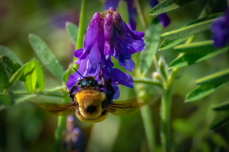 Carpenter Bee and Lupine