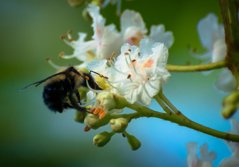 Bee In Blossoms