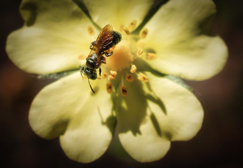 Bee Shadow
