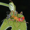 Recently molted immature bug standing over the exuvia of its' smaller self.  When frightened by the camera, the bug did not run and hide under the leaf as I expected.  Rather it remained close to, and nearly on top of, the cast skin.   Did this behavior make the insect appear larger than it actually was in the face of danger, something that might scare off a potential predator?  The fine, white, thread-like structures coming out of the cast skin are tracheae, part of the system that supplies oxygen to the insect.  New ones are formed when the insect molts.  check