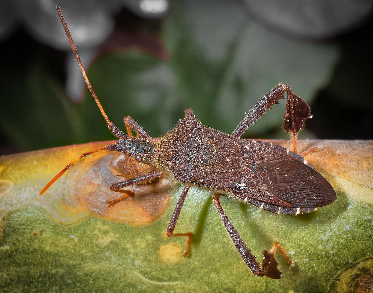 Leaffooted bug on cactus