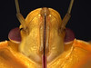 Gold southern green stinkbug