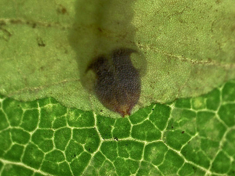 "Leaf miner feeding in between layers of an oak leaf.  The larva feeds on the green plant cells but not on the top and bottom layers of the leaf.  This ""envelope"" provides protection from threats such as some parasitoids and predators.  The top layer of the plant is nearly transparent with a ""cobblestone"" texture.  The open mandibles of the larva are seen at the lower tip of the dark-brown head.  They move in scissors-like fashion to chew away at the cells.  The mine starts off very narrow but increases as the larva grows and consumes a wider path of cells"